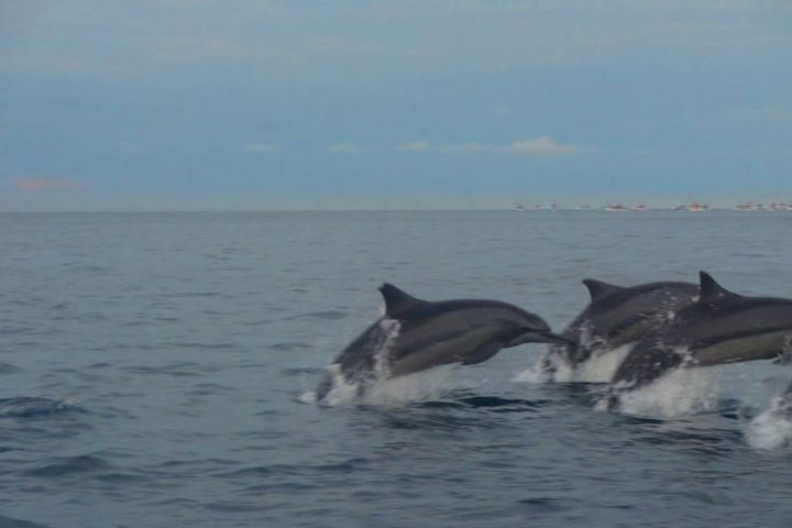 bali dolphins